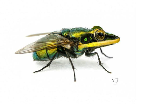 frog-fly