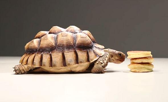 tortoises-pancakes