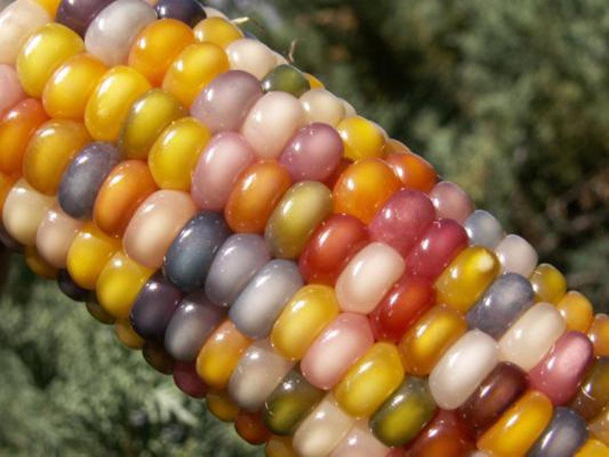 rainbow-corn-4