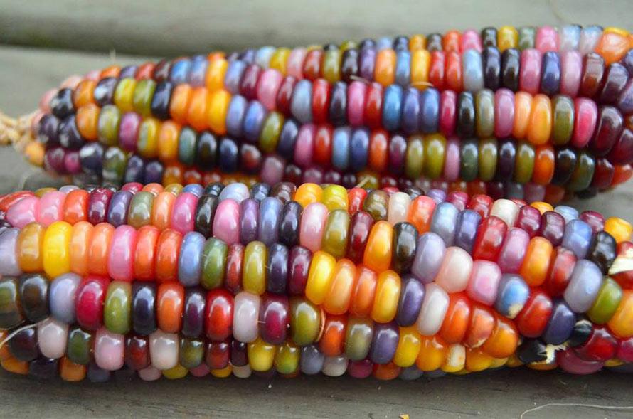 rainbow-corn